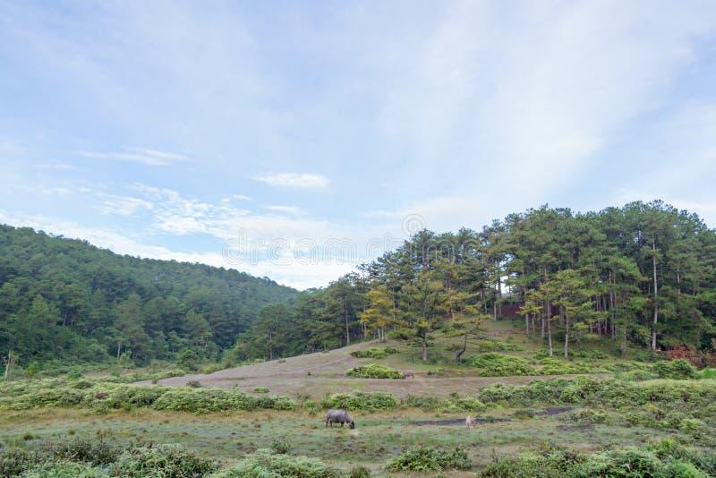 El búfalo salvaje vive en la parte 10 del bosque foto de archivo libre de regalías