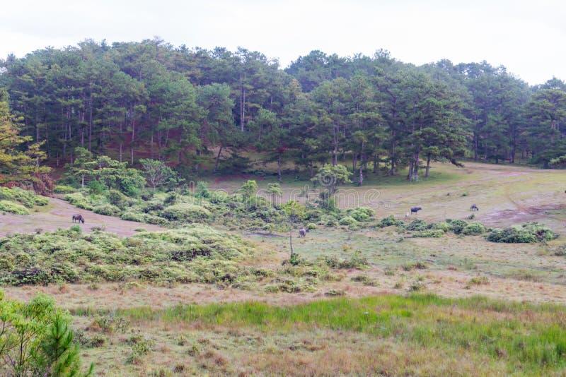 El búfalo salvaje vive en la parte 10 del bosque imágenes de archivo libres de regalías