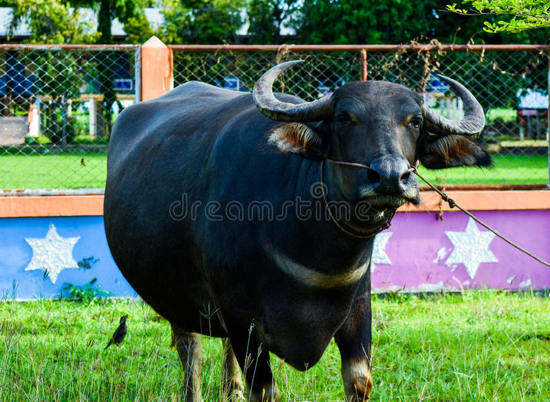 El búfalo tailandés está comiendo la hierba verde en archivada imagenes de archivo
