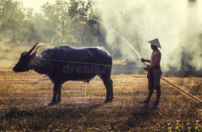 El búfalo toma un baño con el granjero imagen de archivo libre de regalías