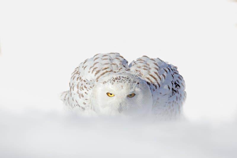 El búho Nevado, scandiaca de Nyctea, el pájaro raro blanco con amarillo observa sentarse en la nieve durante invierno frío, torme imagen de archivo