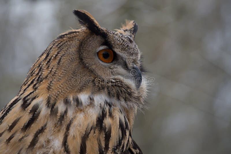 El b?ho de orejas alargadas, otus del Asio en un parque de naturaleza alem?n imágenes de archivo libres de regalías
