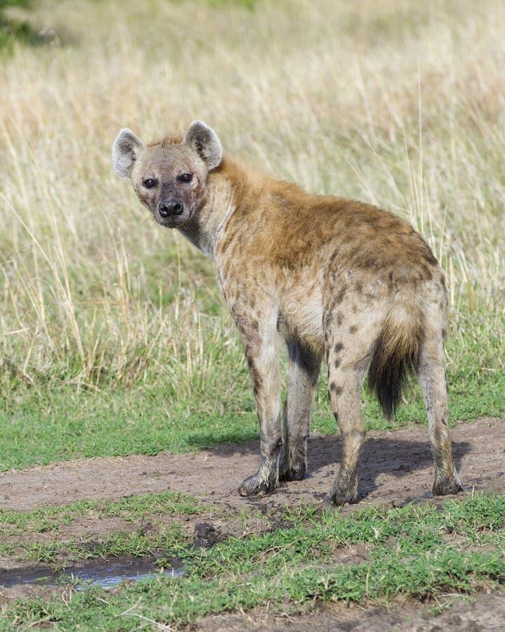 El backview del primer de la hiena manchada con los pies fangosos que miran temeroso apoya hacia la cámara imágenes de archivo libres de regalías