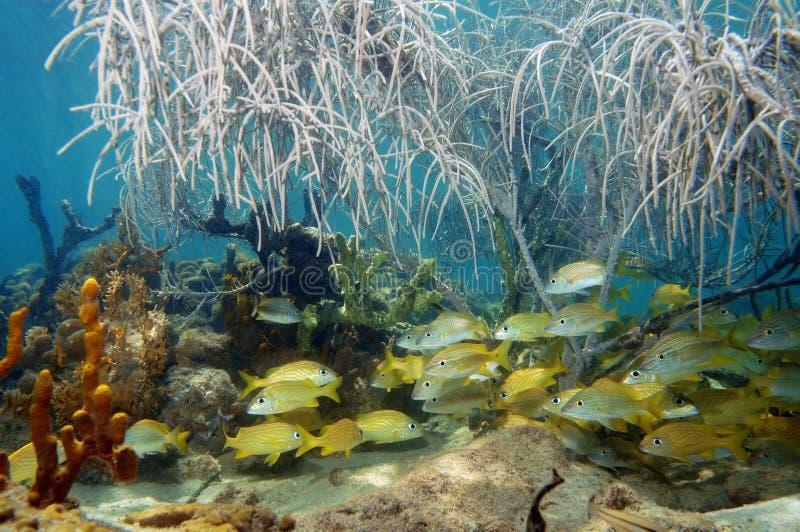 El bajío de pescados debajo del mar plume en un arrecife de coral imagenes de archivo