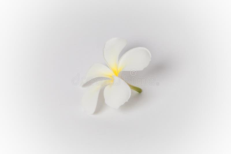 El balneario del Frangipani florece, flor del plumaria en el fondo blanco, plu imagen de archivo
