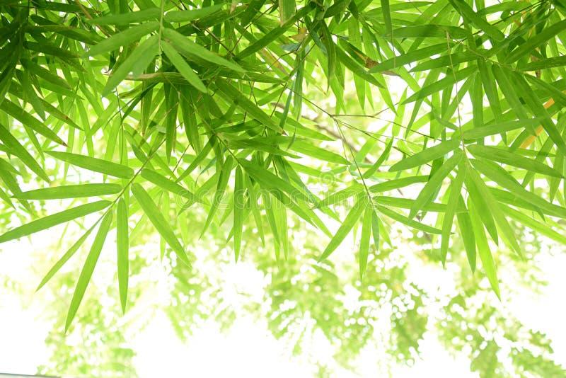 El bambú verde sale del marco imagen de archivo libre de regalías