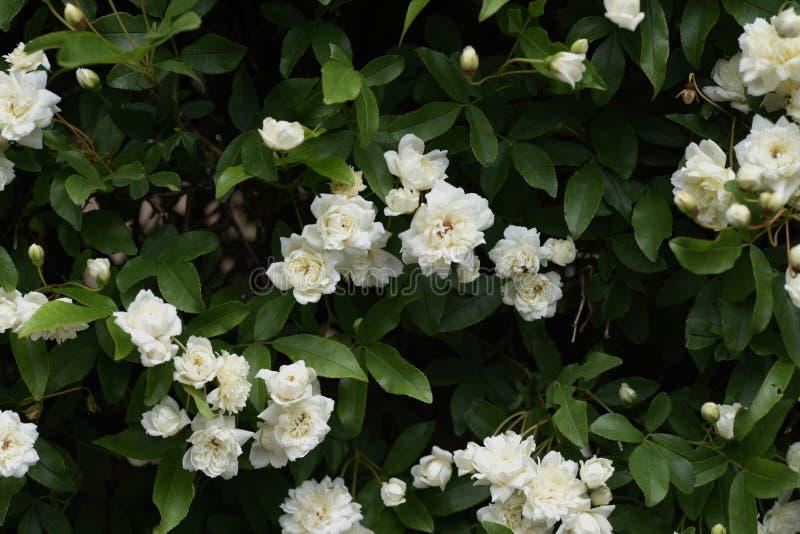 El Banksia subi? los flores fotografía de archivo