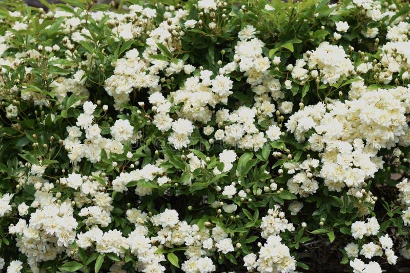 El Banksia subi? los flores fotografía de archivo libre de regalías