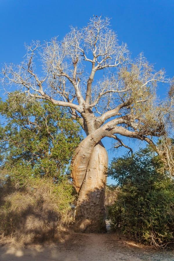 El baobab amoroso foto de archivo