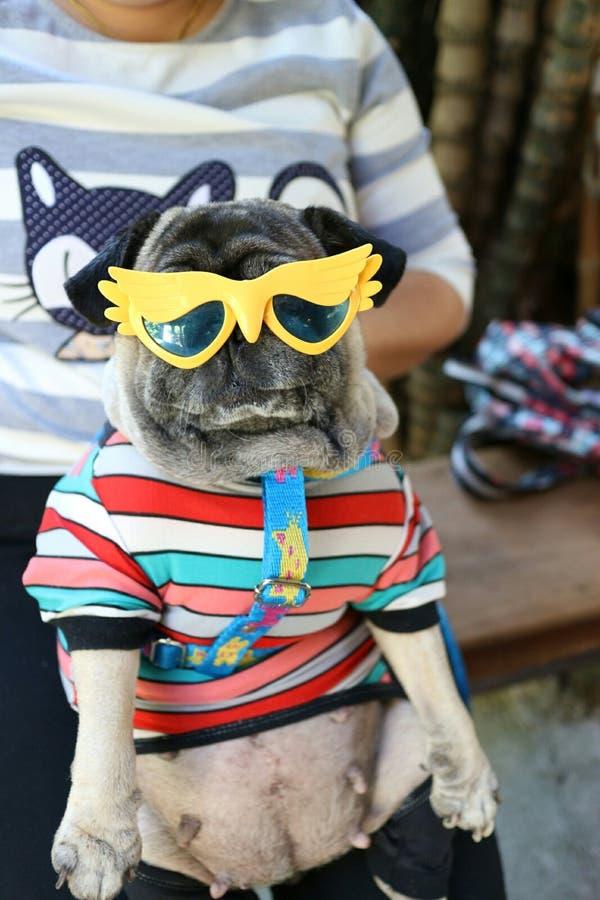 El barro amasado es un pequeño perro Tenga un cuerpo moderado Pelos cortos y acortados de los oídos, doblado y corto foto de archivo