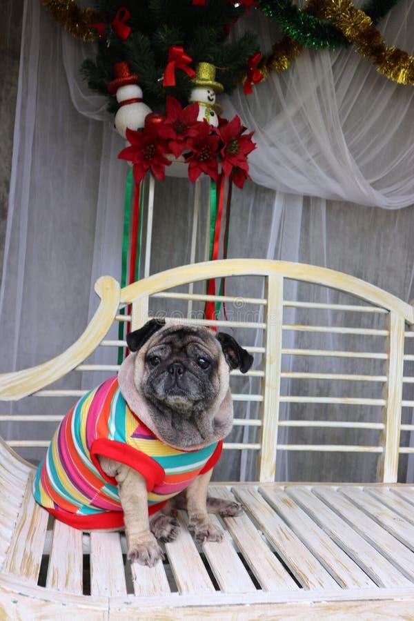 El barro amasado es un pequeño perro Tenga un cuerpo moderado Pelos cortos y acortados de los oídos, doblado y corto imagen de archivo libre de regalías