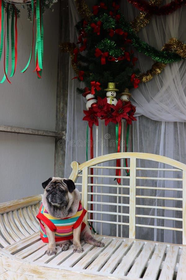 El barro amasado es un pequeño perro Tenga un cuerpo moderado Pelos cortos y acortados de los oídos, doblado y corto imagen de archivo