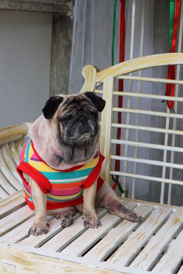 El barro amasado es un pequeño perro Tenga un cuerpo moderado Pelos cortos y acortados de los oídos, doblado y corto fotografía de archivo