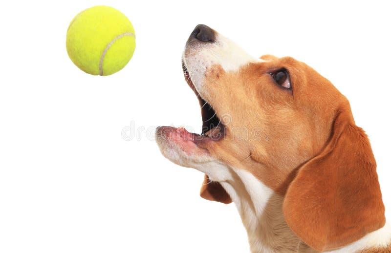El beagle coge la bola aislada en el fondo blanco foto de archivo libre de regalías