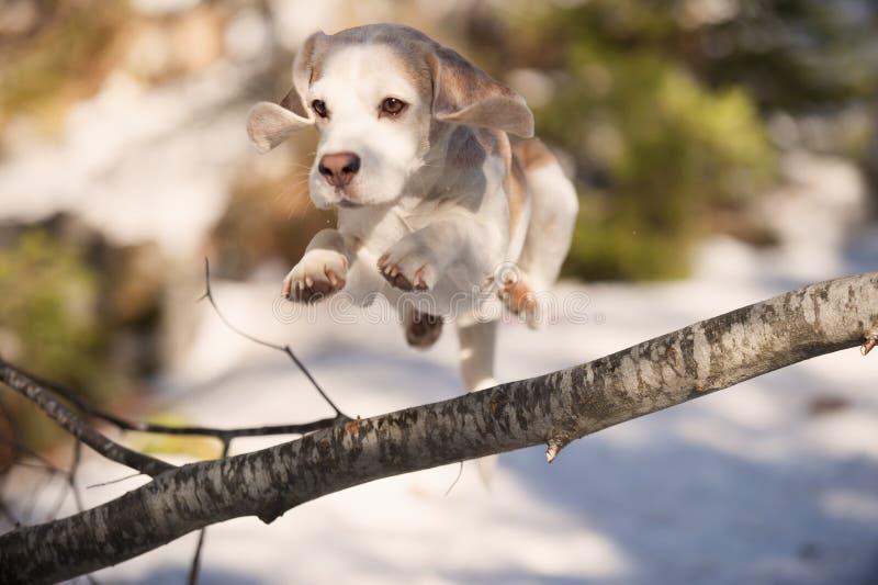 El beagle que salta sobre árbol caido foto de archivo libre de regalías