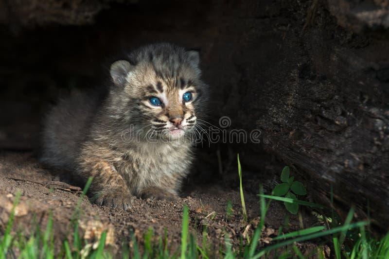 El bebé Bobcat Kitten (rufus del lince) mira hacia fuera de registro imágenes de archivo libres de regalías