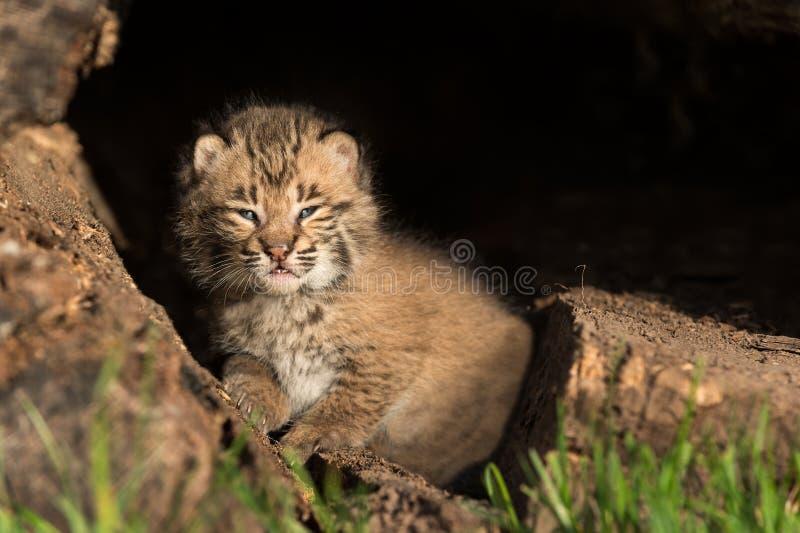 El bebé Bobcat Kitten (rufus del lince) parece recto hacia fuera por dentro de L fotos de archivo