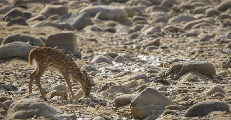 El bebé chital o cheetal, también conocido como ciervos manchados o ciervos del eje está buscando para la comida en un área seca  fotografía de archivo libre de regalías