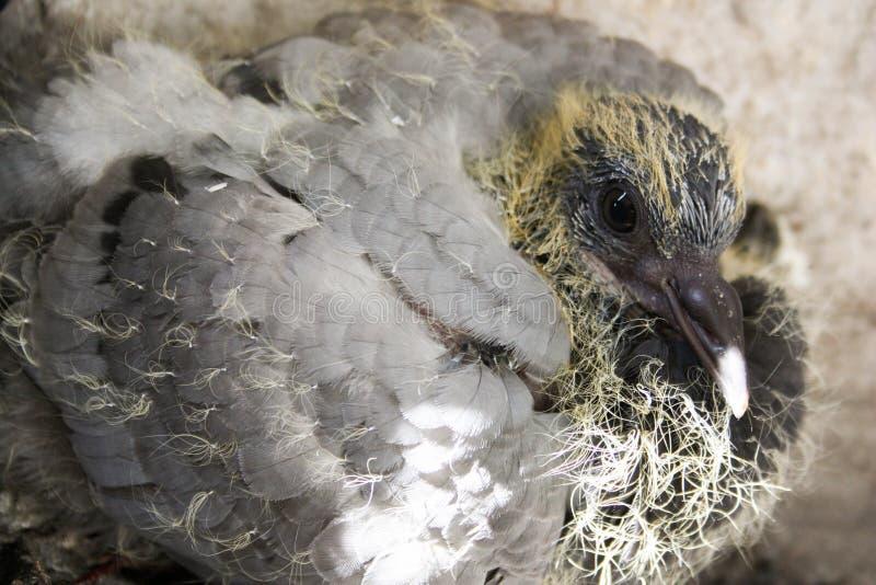 El bebé del pájaro se zambulló en la foto de la jerarquía para su imagen de archivo libre de regalías