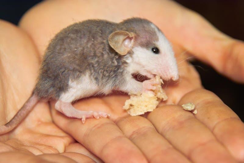 El bebé perdido de la rata está comiendo en las manos. imagenes de archivo