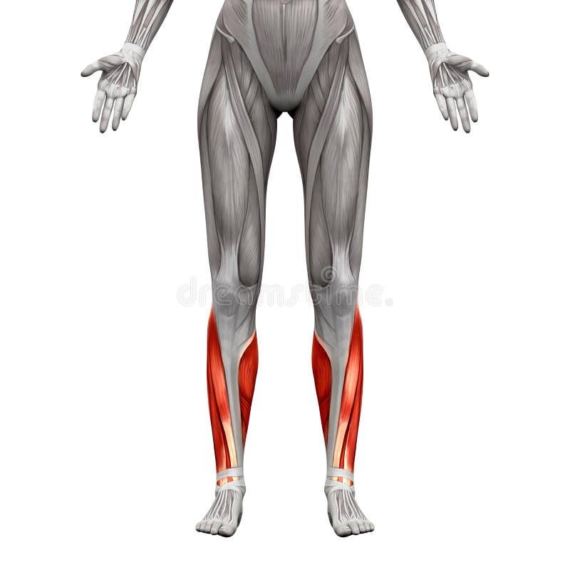 El becerro Muscles - los músculos de la anatomía aislados en blanco - el illustrati 3D ilustración del vector