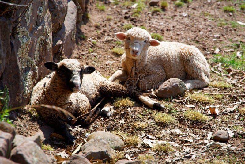 El beeing de las ovejas curioso imagenes de archivo