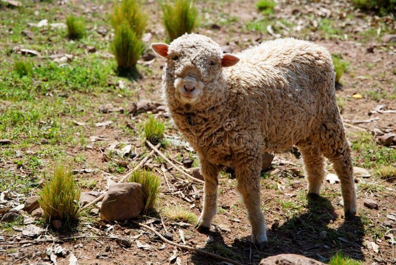El beeing de las ovejas curioso imagen de archivo libre de regalías