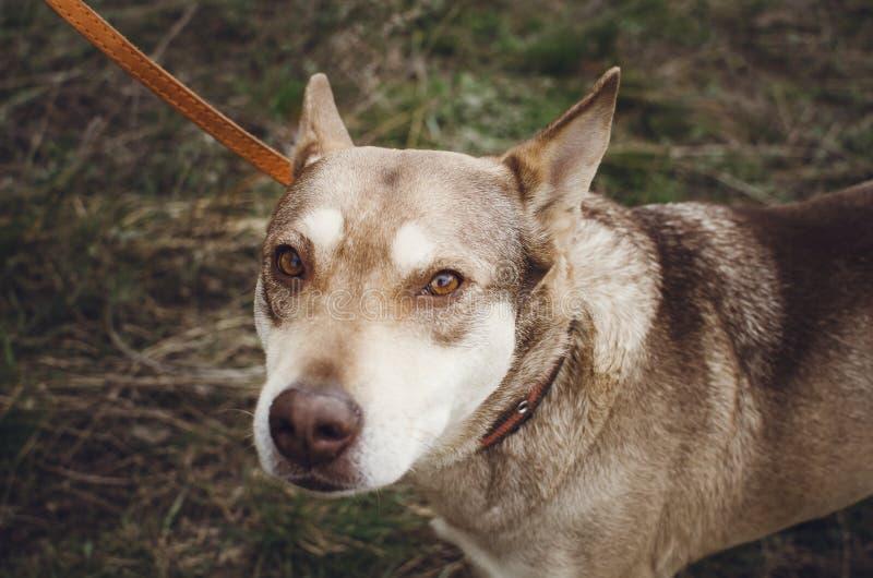 El beige triste perro-mestizo en un correo está y las miradas derecho Primer, foco selectivo imagenes de archivo