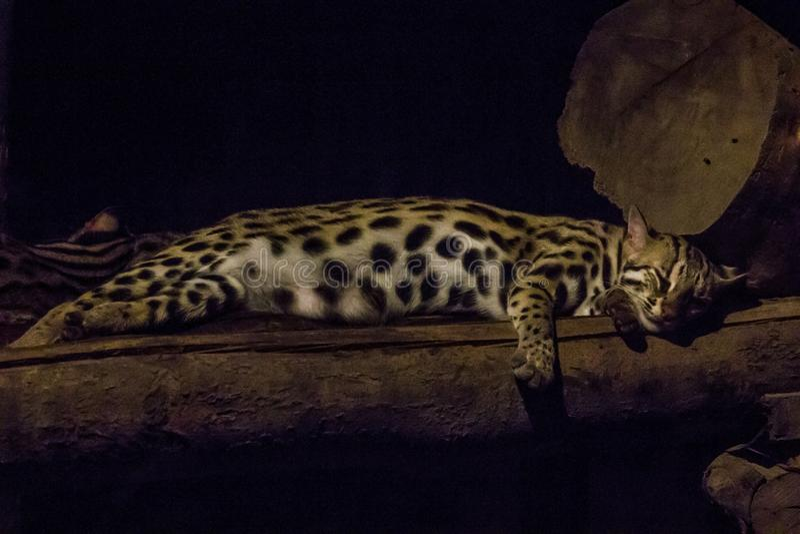 El bengalensis de Prionailurus en el parque zoológico está durmiendo fotos de archivo