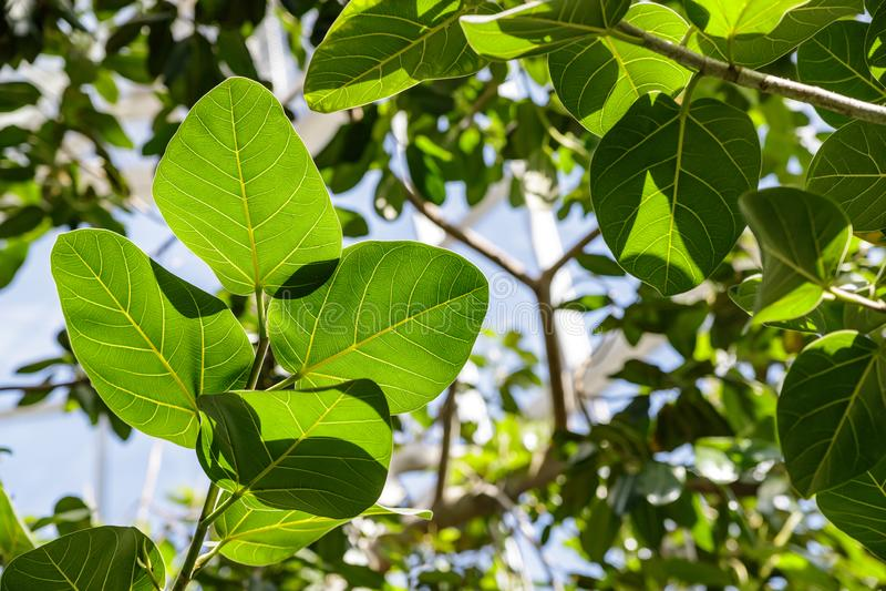 El benghalensis de los ficus es de la India y del Himalaya Hojas verdes grandes de los ficus fotografía de archivo libre de regalías