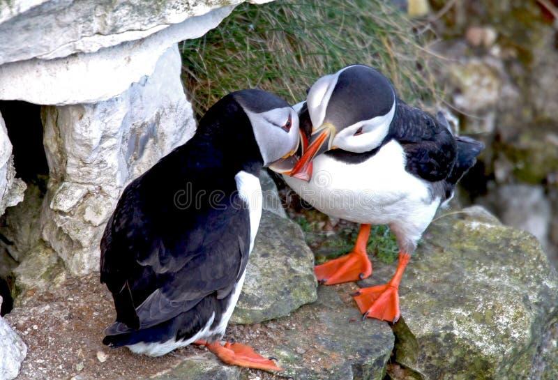 El besarse de dos pájaros del frailecillo imagenes de archivo