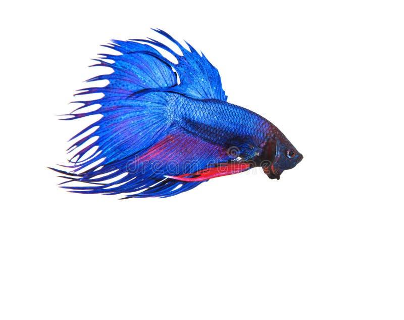 El betta fighing tailandés de los pescados de la cola azul de la corona se prepara para luchar el aislante imagen de archivo libre de regalías