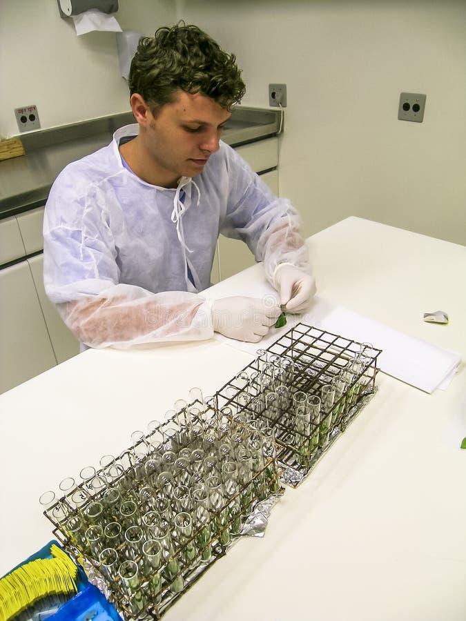 El bi?logo investiga las hojas anaranjadas en un laboratorio de investigaci?n de la fruta c?trica foto de archivo