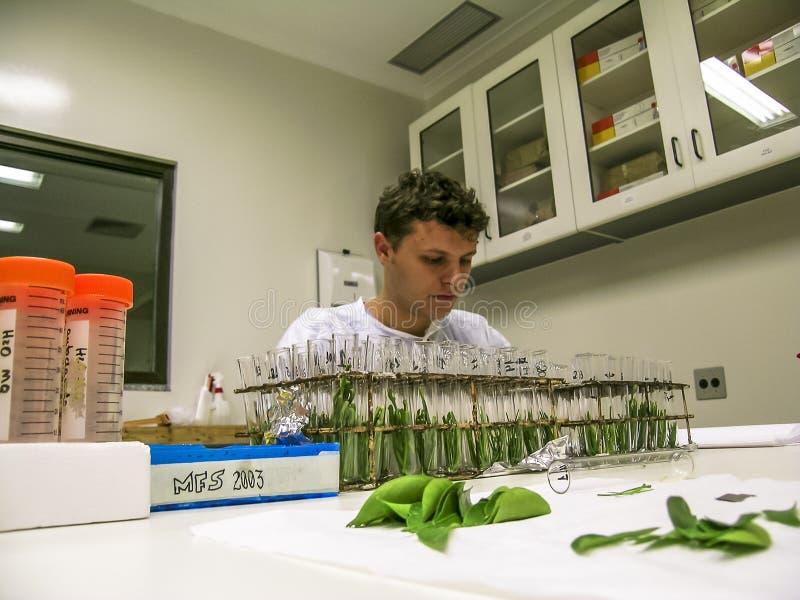 El bi?logo investiga las hojas anaranjadas en un laboratorio de investigaci?n de la fruta c?trica fotos de archivo libres de regalías