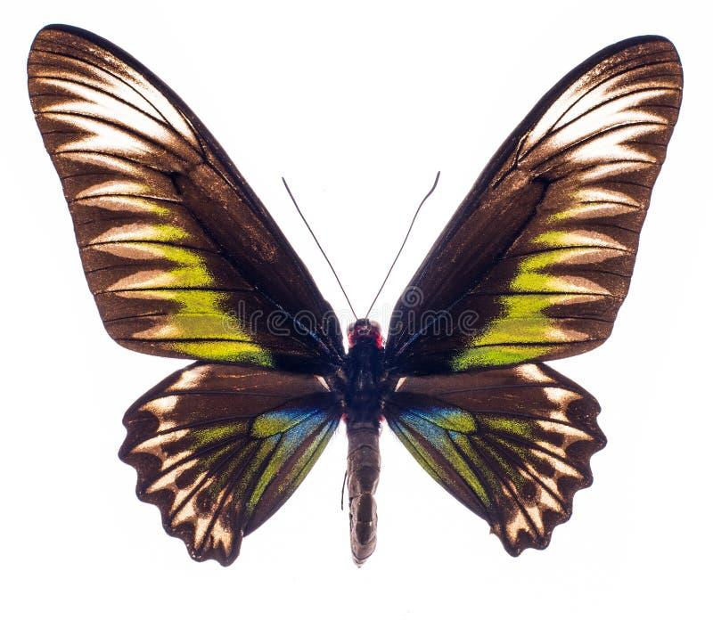 El birdwing de Brooke del rajá aislado en blanco fotografía de archivo libre de regalías