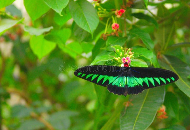 ` El birdwing de s de Brooke del rajá y pequeñas flores rojas fotos de archivo libres de regalías