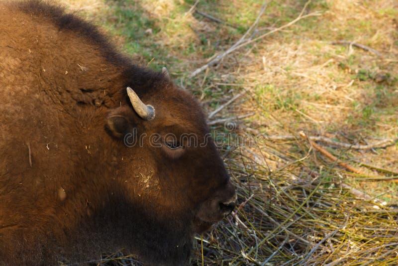 El bisonte enorme camina a trav?s del campo y come las ramas y la hierba fotografiadas en la parte norte?a de Rusia imagen de archivo libre de regalías