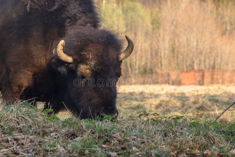 El bisonte enorme camina a trav?s del campo y come las ramas y la hierba fotografiadas en la parte norte?a de Rusia fotos de archivo libres de regalías