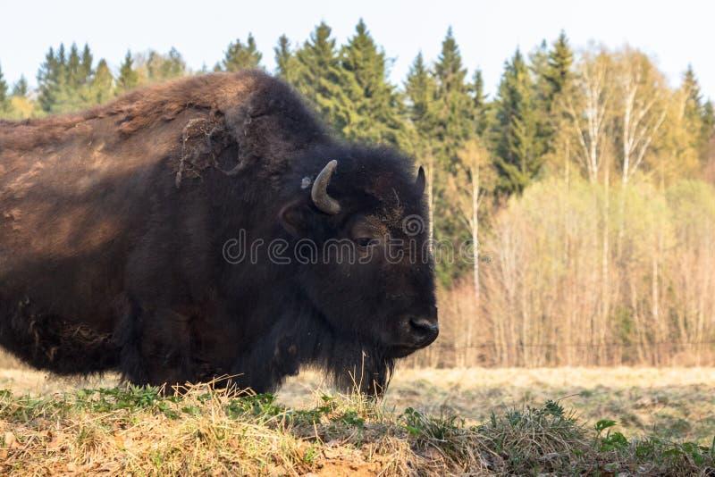 El bisonte enorme camina a trav?s del campo y come las ramas y la hierba fotografiadas en la parte norte?a de Rusia imagenes de archivo