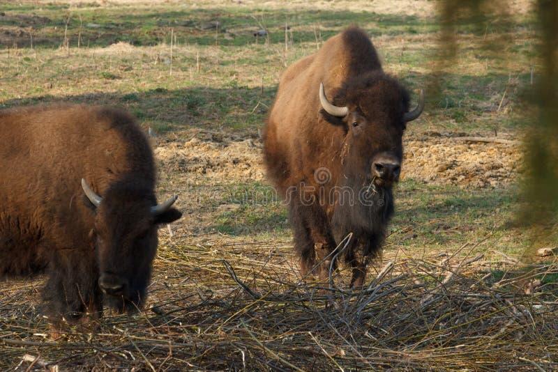 El bisonte enorme camina a trav?s del campo y come las ramas y la hierba fotografiadas en la parte norte?a de Rusia foto de archivo libre de regalías