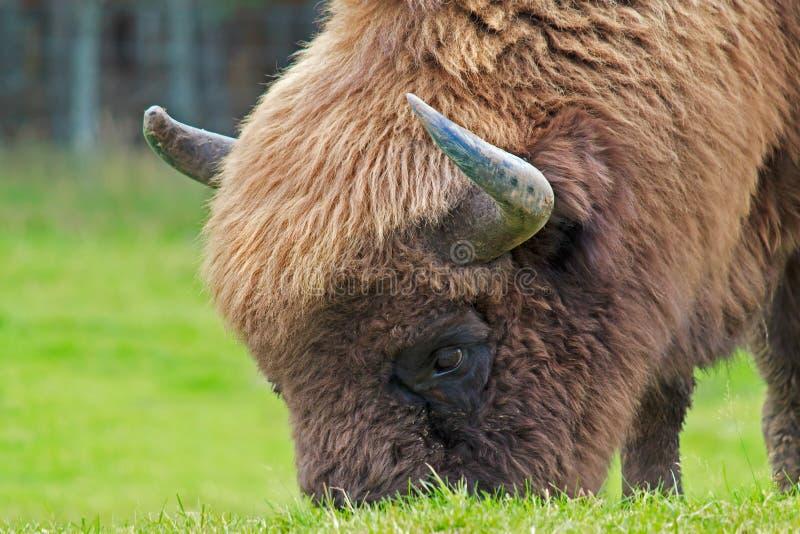 El bisonte europeo foto de archivo libre de regalías