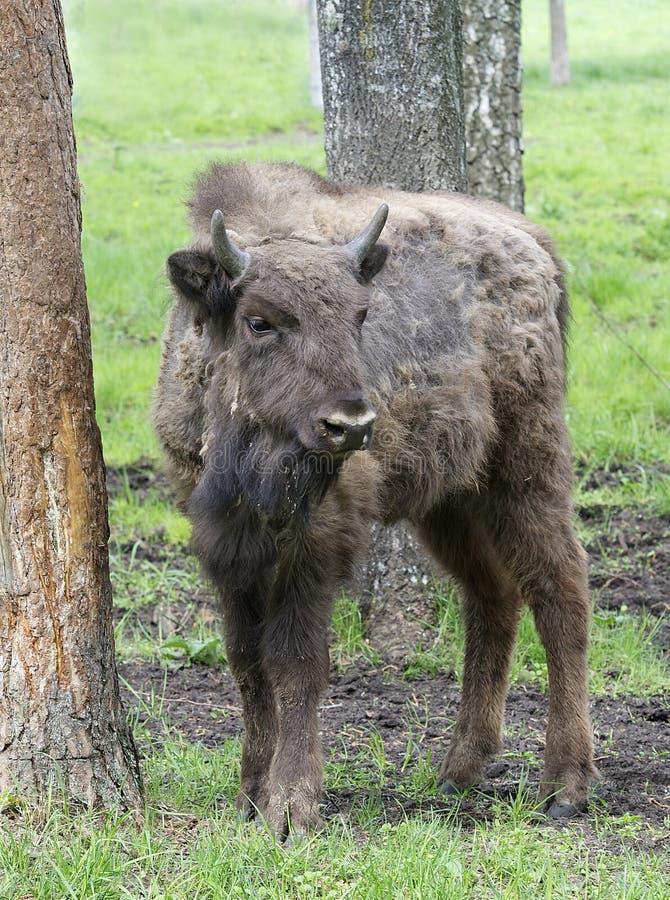 El bisonte masculino grande en el bosque, bisonte en prados, bisonte salvaje de los llanos, bisonte europeo (primas del bisonte)  imagenes de archivo