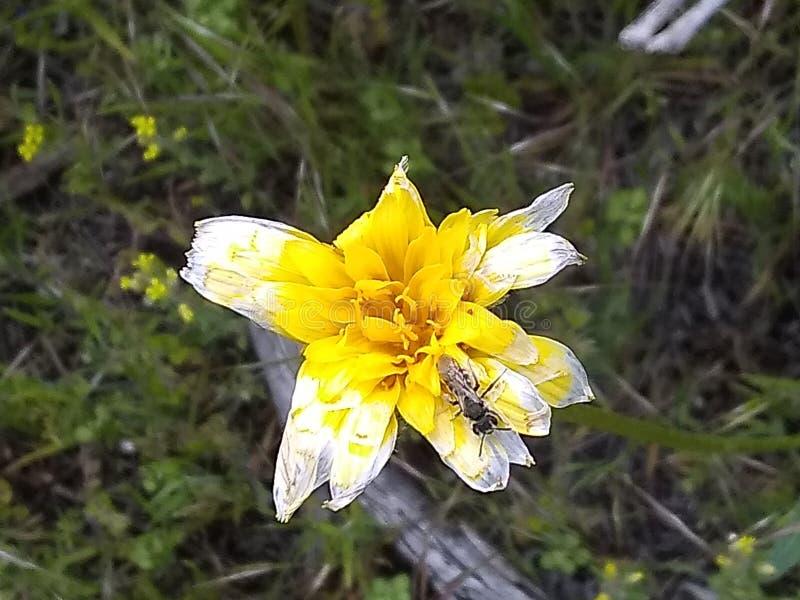 El blanco amarillo se descolora la flor imágenes de archivo libres de regalías