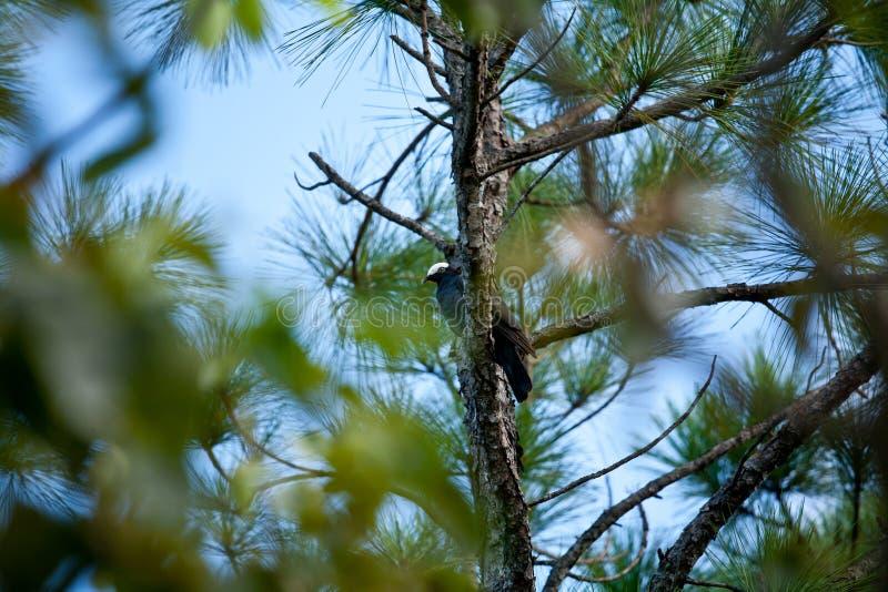 El blanco coronó la paloma en un árbol de pino en las llaves de la Florida imagenes de archivo