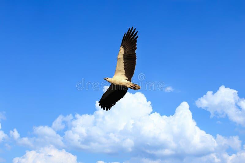 El blanco de Eagle hinchó volar sobre el cielo azul imponente. Focu suave imagenes de archivo