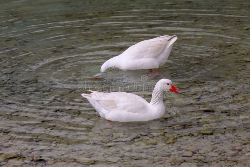 El blanco ducks la natación en el lago fotografía de archivo libre de regalías