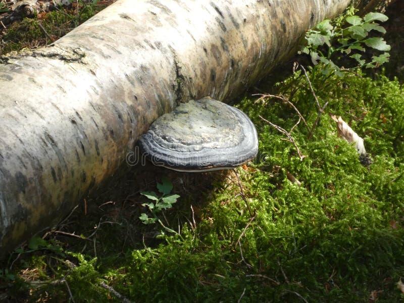 El blanco fungoso de la seta de Polypore crece en un tronco del un árbol de abedul fotografía de archivo libre de regalías