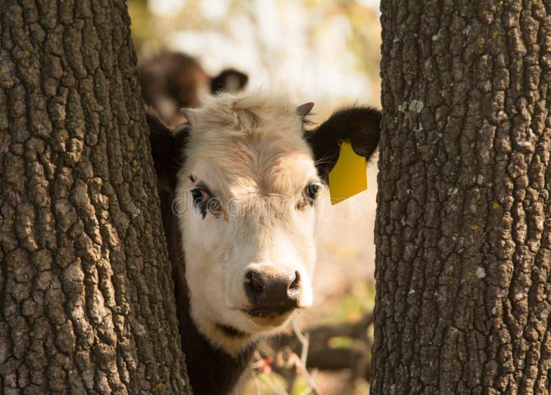 El blanco joven hizo frente al buey que miraba a escondidas curiosamente a través de troncos de árbol fotos de archivo