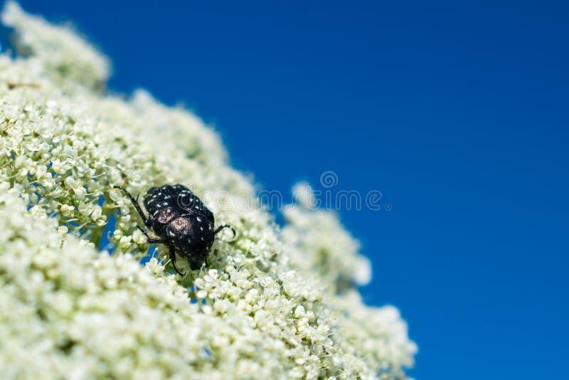El blanco manchó el escarabajo color de rosa en la flor blanca fotos de archivo