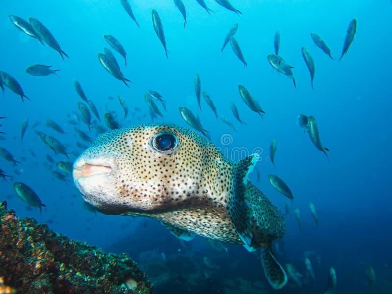 El blanco manchó las islas de las Islas Galápagos de los peces marinos del fumador Ecuador imagen de archivo
